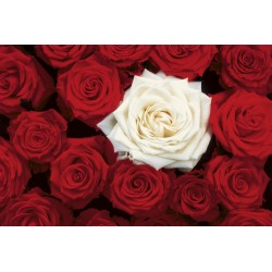 Bed of Roses - roser, MAXI...