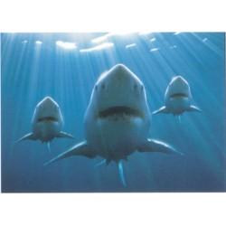 Tre hajer (Sharks), MAXI...