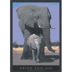 Afrikanske Elefanter, pride...