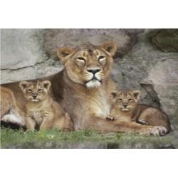 Løvefamilie (Midi plakat)