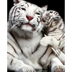 Tigerkys - en hvid tiger...