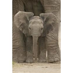 Big Ears - Afrikansk...