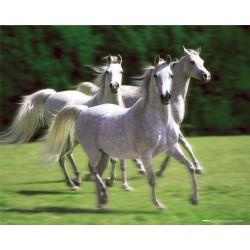Galopperende hvide heste...